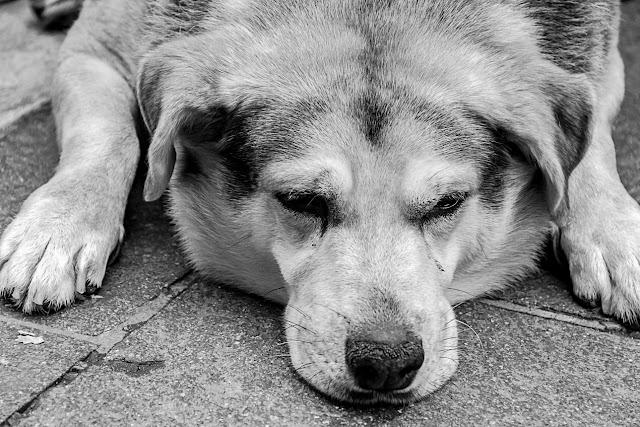 Retrato en B&N de un perro echado en el piso