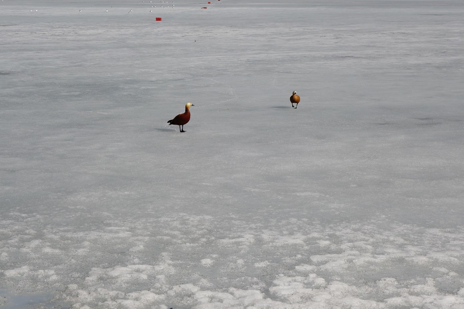 Soapbox photos: Ducks Wait For Snow to Melt