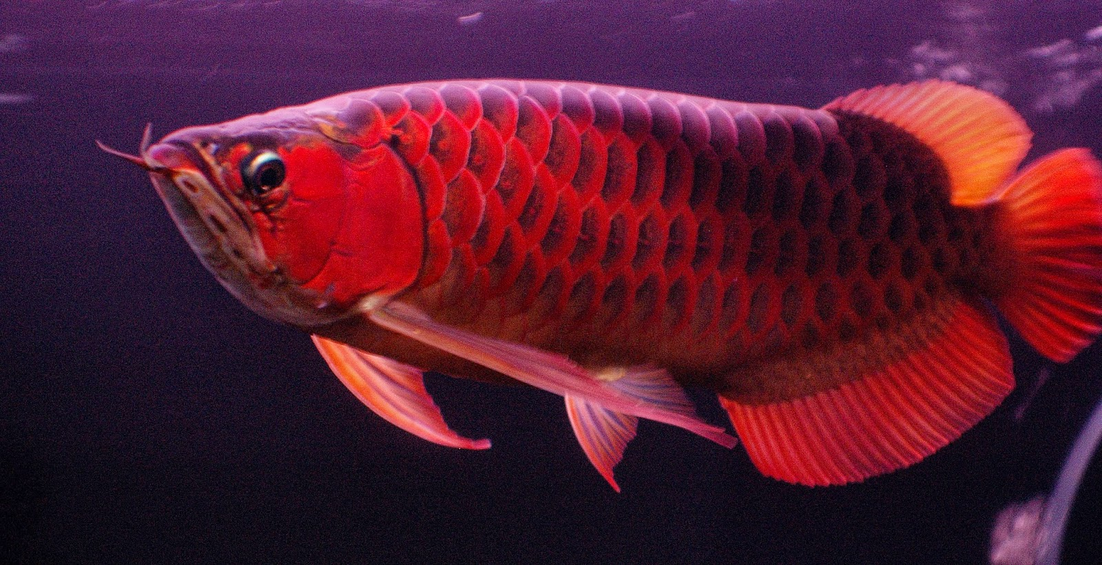 wallpaper red dragon arowana