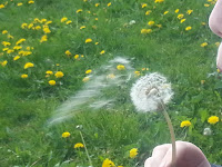 Boy blowing dandelion clock
