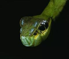 A closeup of a Hawk Moth caterpillar's snake face.