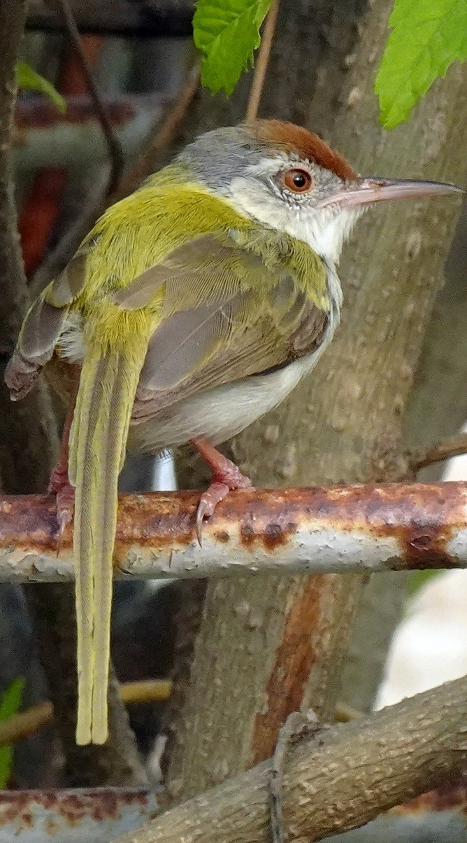 The common tailorbird (Orthotomus sutorius).
