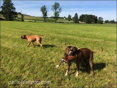 Boxer unterwegs - Elvis Amy und Baxter