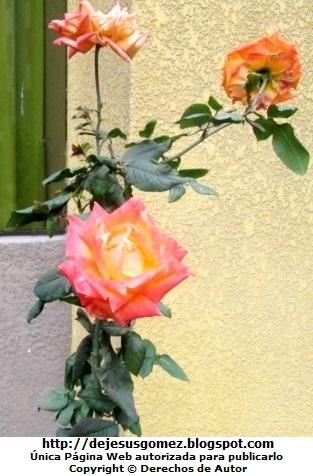 Foto de rosas con muchas hojas de Jesus Gómez