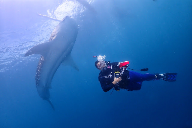 Meet the Whale sharks at Gorontalo, Indonesia