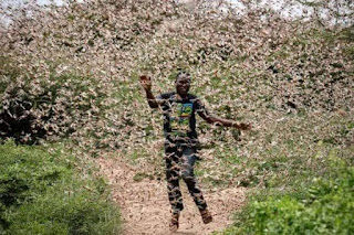 Kenyan man with locust swarn