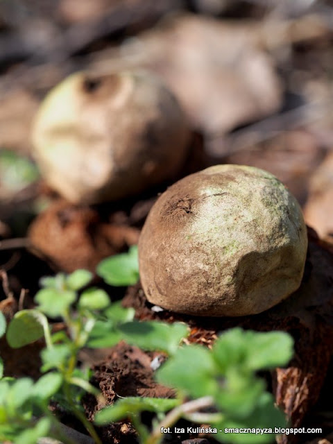gwiazdosze potrojne, rzadkie grzyby, grzybki, wiosna, las bemowski, grzybobranie, grzybowe znaleziska, grzybnieta, rzadkosc