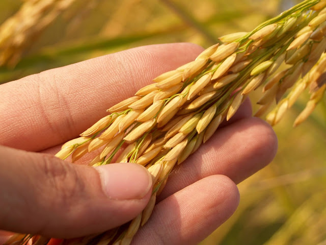 a guy holding a stalk of rice