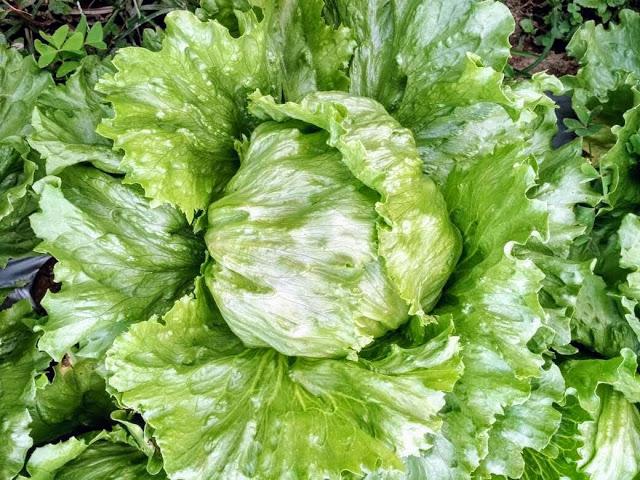 6 Tips Budidaya Sayuran Selada Iceberg Organik