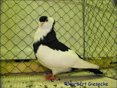 hungarian tumbler pigeons - Kiskunfélegyházi keringö