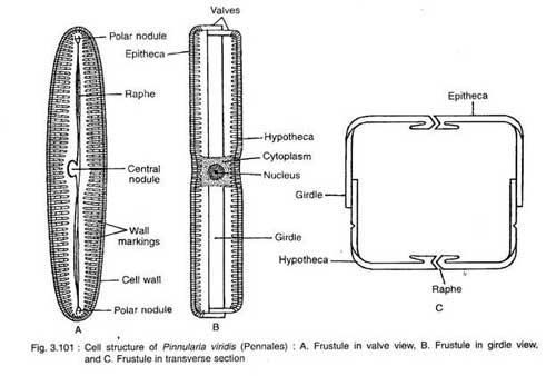 struktur bacillariophyta (diatom) yaitu Pinnularia Viridis
