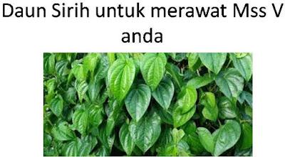 daun sirih untuk merawat mss v agar wangi
