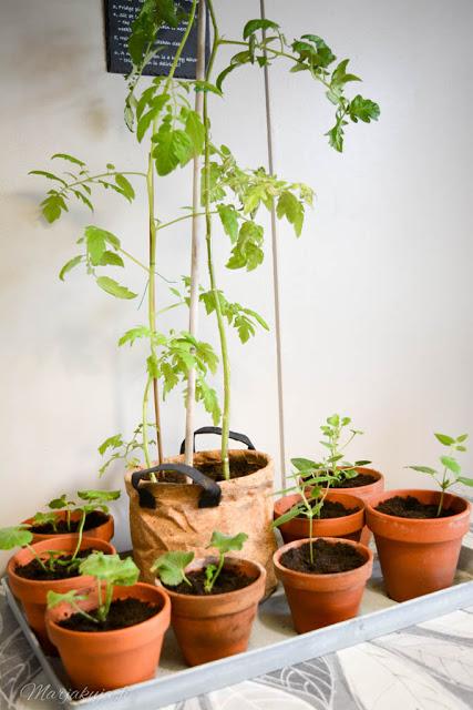 kodin kukat esikasvatetut taimet