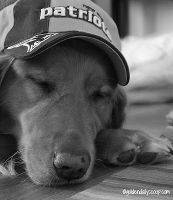 golden retriever dog dressed up in Patriots gear for Super Bowl #blackandwhite Sunday