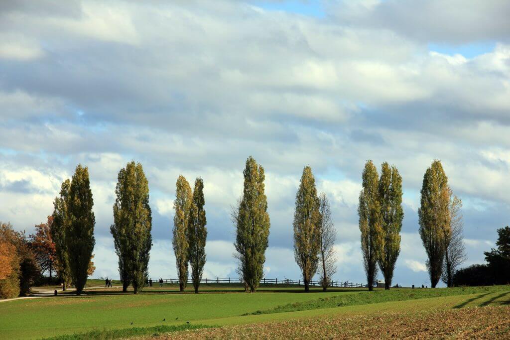 Poplars tree