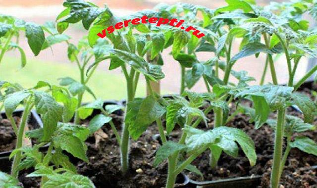 перекормила рассаду томатов удобрением что делать
