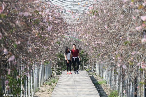 台中烏日|2019芬園花卉生產休憩園區|洲府枝垂櫻隧道|櫻花園區免費賞各種花卉