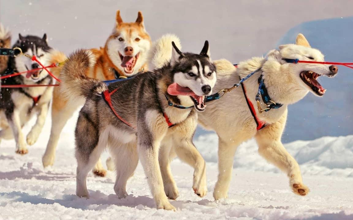 اجمل صور و خلفيات كلاب هاسكي سيبيري 2020