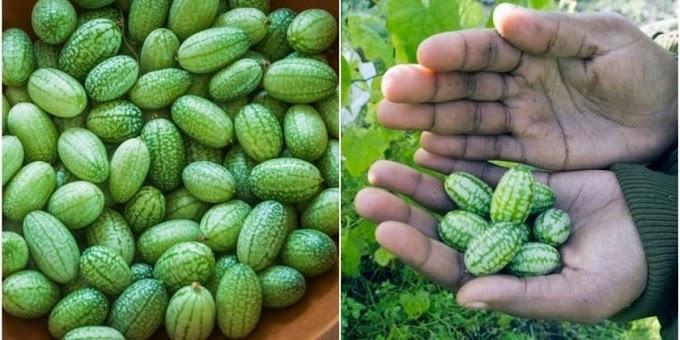 Cultiva Cucamelons: la mini sandía que sabe a pepino y lima