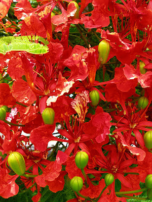 Blooming Poinciana