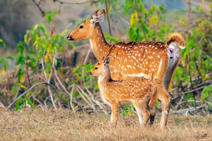 Spotted Deer or Cheetal   Bharatpur, Rajasthan, India