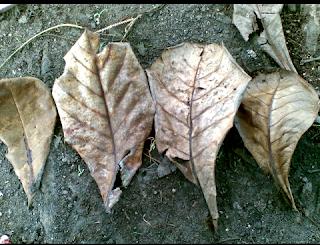 Cara obati penyakit ikan guppy dengan daun ketapang
