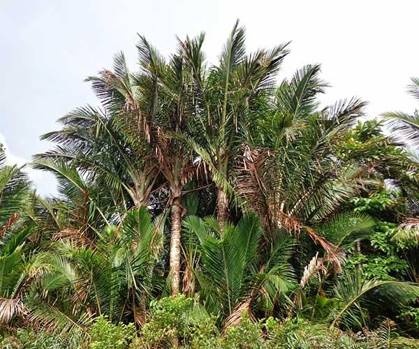 tanaman sagu foto LIPI