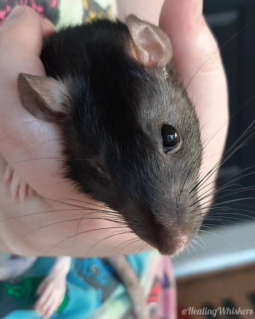 Juniper the rescue rat has a head tilt