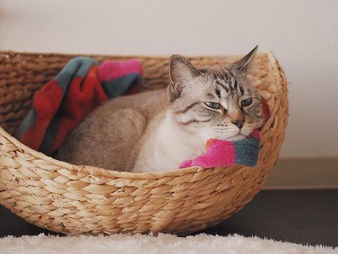 籠ベッドのふちに顔を乗せてふてくされた顔をしているシャムトラ猫