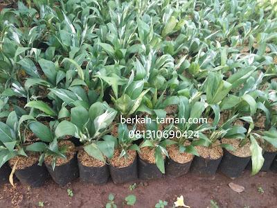 harga pohon spathufilum variegata