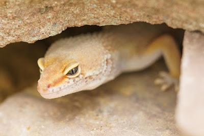 imagens de camuflagem Gecko