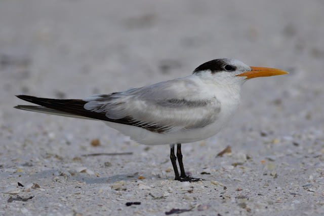 Royal Tern - Carlos Pointe, Florida
