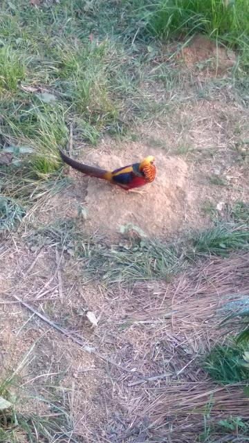Peacock-at-Bangabonddhu-Safari-Park-Gazipur