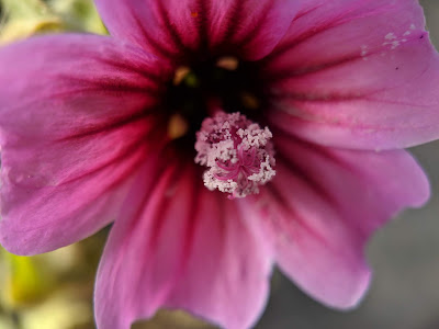 [Malvaceae] Lavatera arborea - macro.