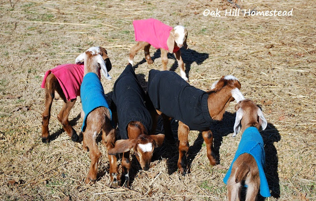 Goat kids in coats!