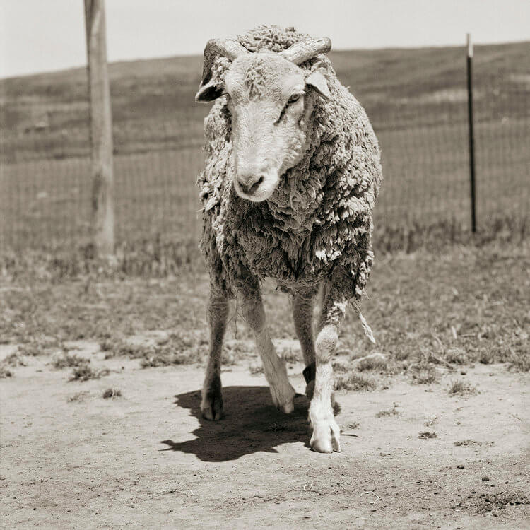 Stunning Black And White Portraits Of Rescued Farm Animals That Were 'Allowed To Grow Old'