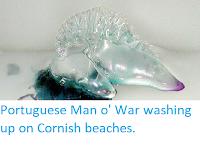 https://sciencythoughts.blogspot.com/2019/10/portuguese-man-o-war-washing-up-on.html