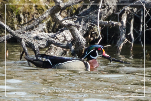 Male Wood Duck. Copyright © Shelley Banks, all rights reserved