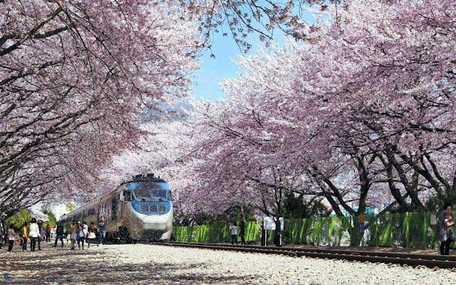 Tổng hợp 5 lễ hội hoa anh đào đẹp nhất Hàn Quốc