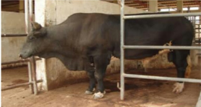 """alt: = """"picture of fiesian and Nigeria indigenous cattle crossbred bull"""