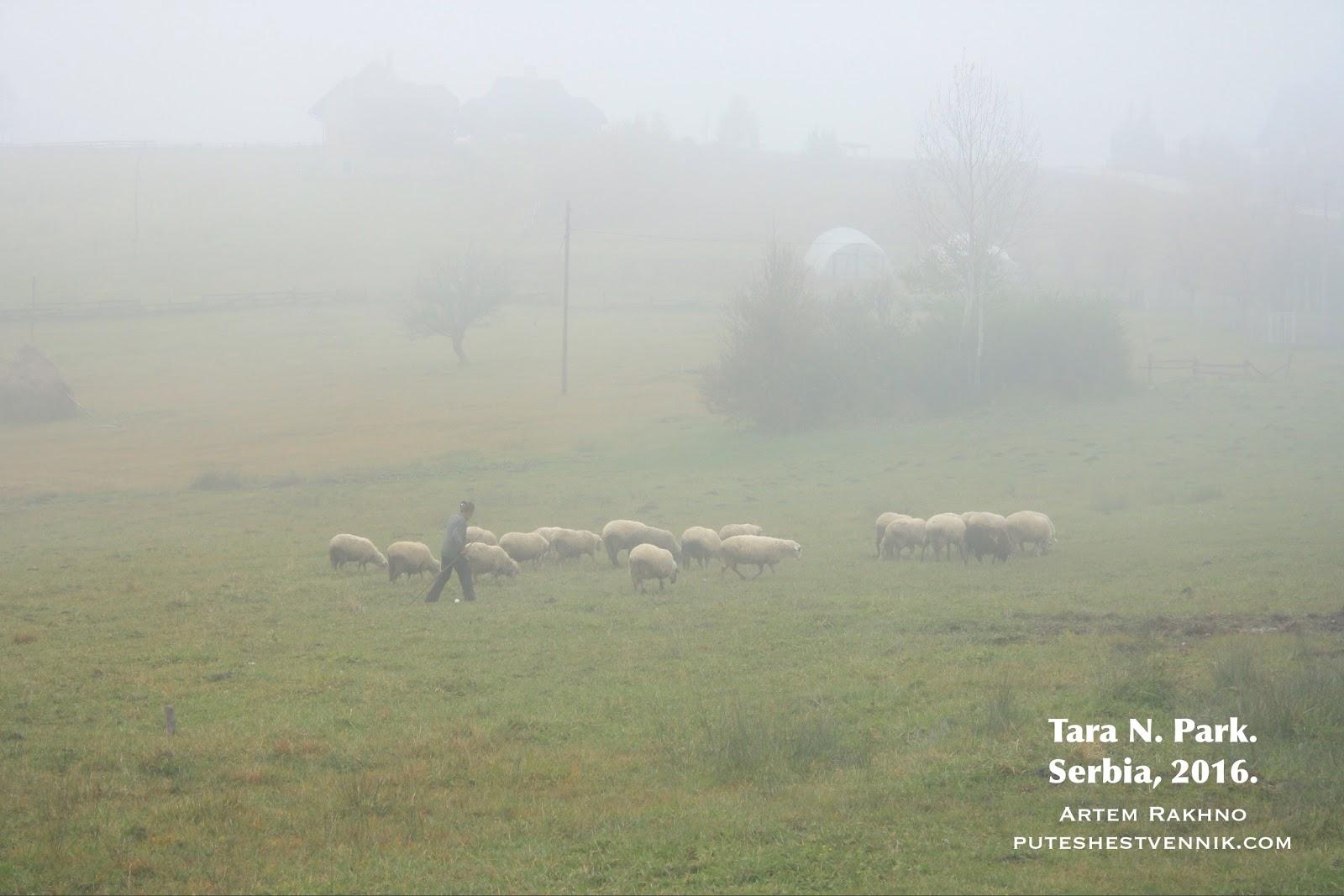 Пастух и овцы в тумане