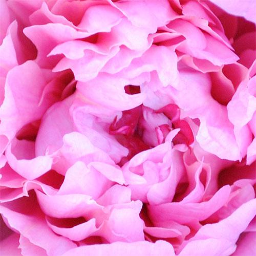 pink peonies macro