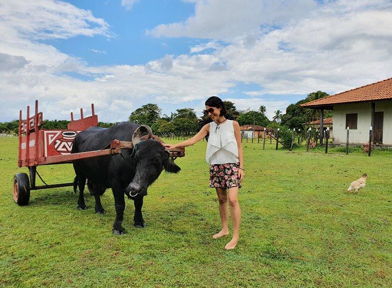 Ilha de Marajó Fazendas Búfalos