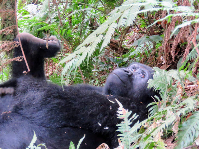 Tracking gorillas in Uganda: Black-back gorilla of the Nkuringo Family