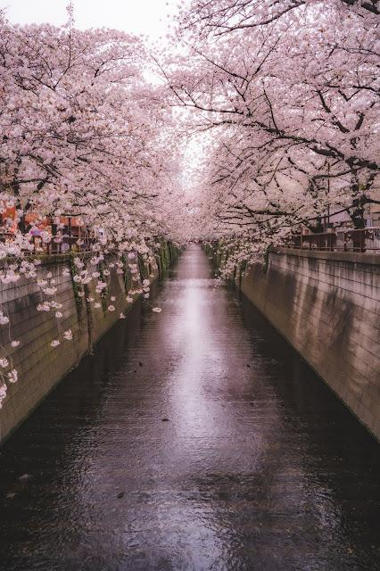 目黒川,桜,桜並木.最新