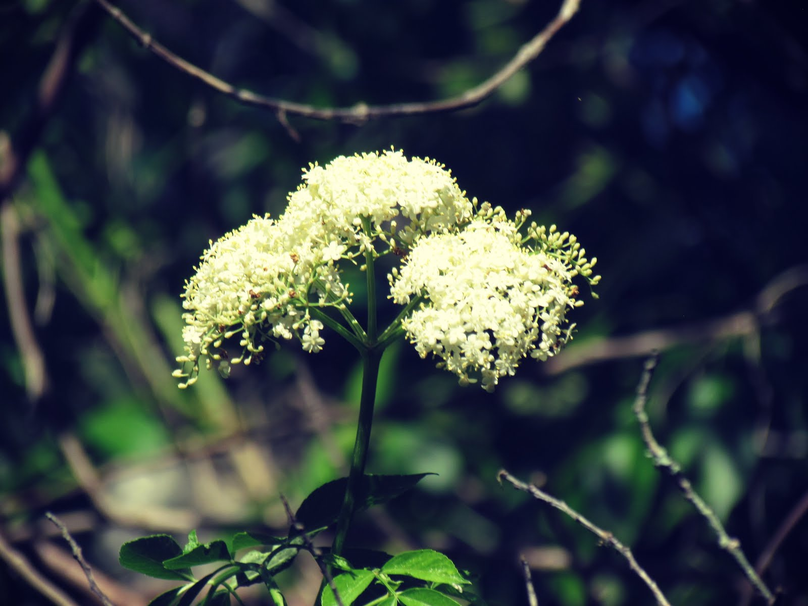 Yarrow Healing Properties + Yarrow Magic Spell