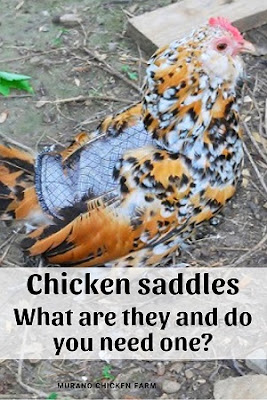 chicken wearing a saddle