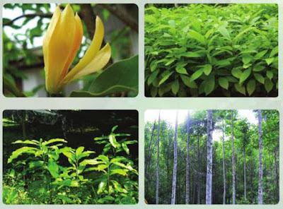 ต้นจำปาป่า (จำปาทอง) สรรพคุณ การปลูก
