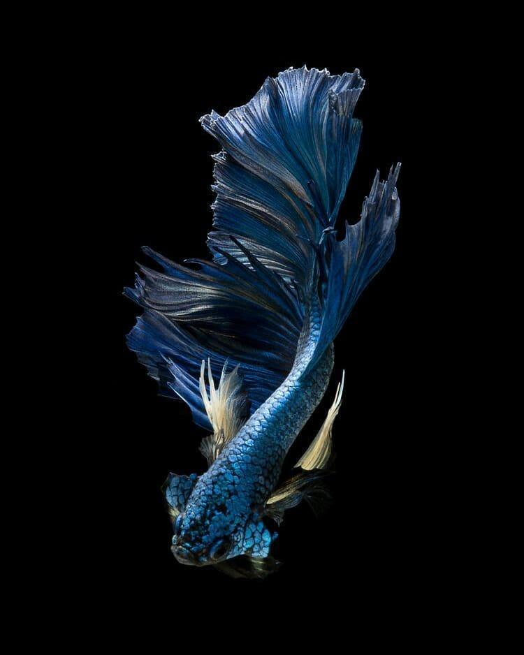 Ikan Cupang Plakat Besgel