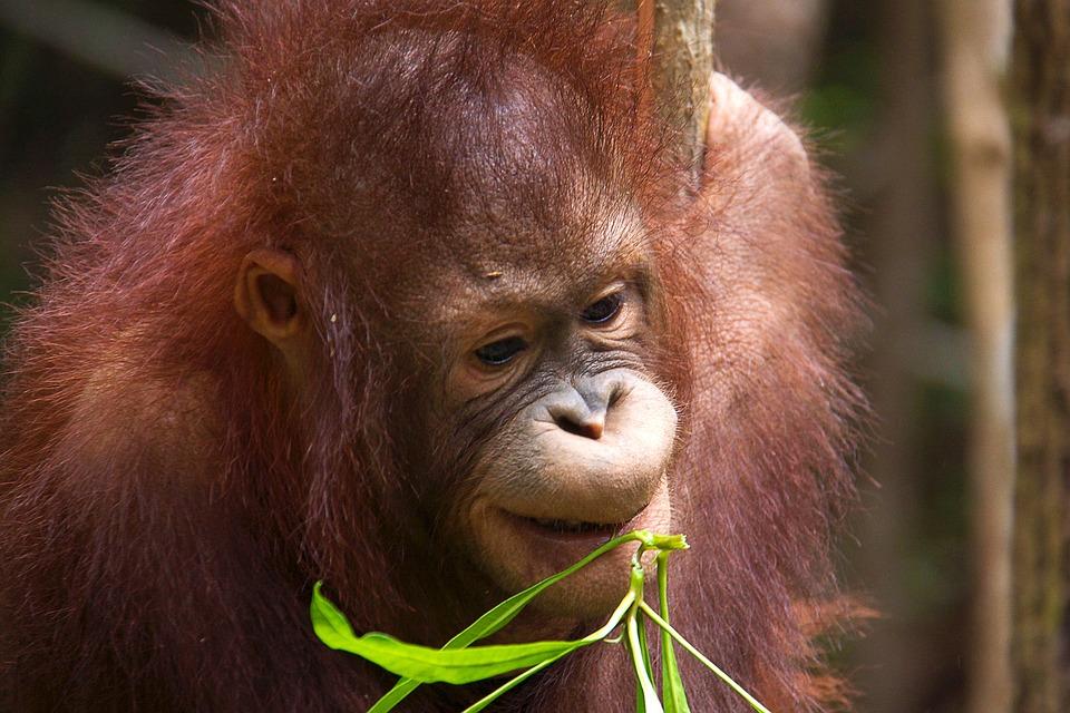 fakta orangutan